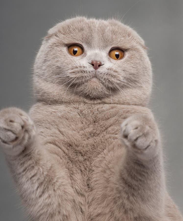kattclosevecket tafsar skott upp royaltyfri fotografi