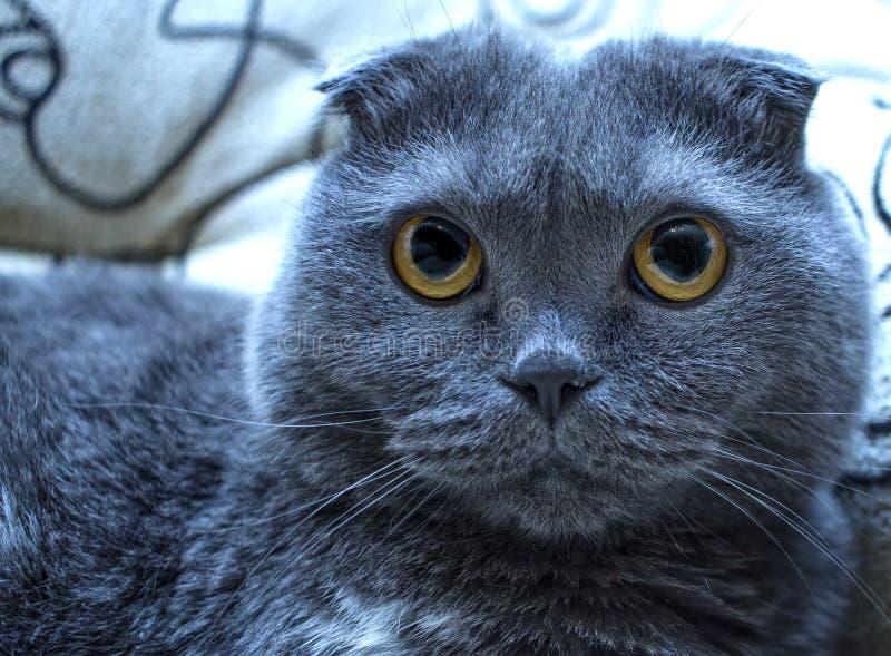 Katten är blåa gråa britain, men ögonen är gula Orsak och sk?nhet av katten arkivbilder