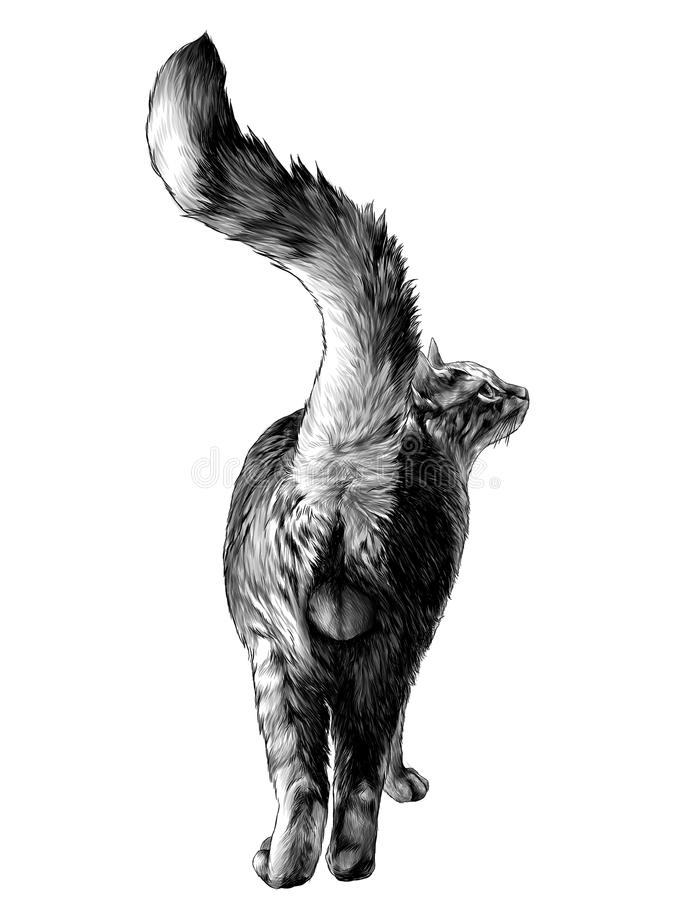 Katten är i en hellång bakre sikt på röven med en lyftt svans och synliga könsdelbollar stock illustrationer