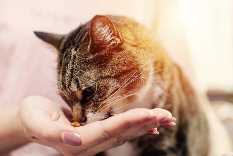 Katten äter från händer av ägaren royaltyfria bilder