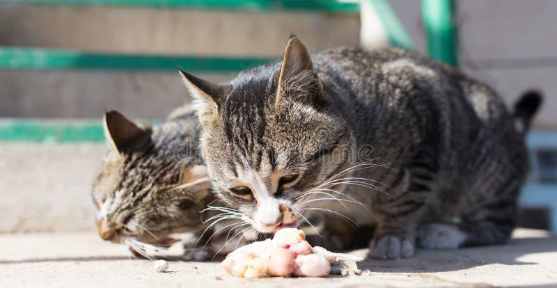 Katten äter kött på naturen royaltyfria foton