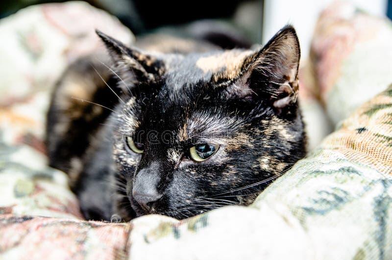 katten De huisdieren zijn dieren die door mensen zijn geacclimatiseerd stock afbeeldingen
