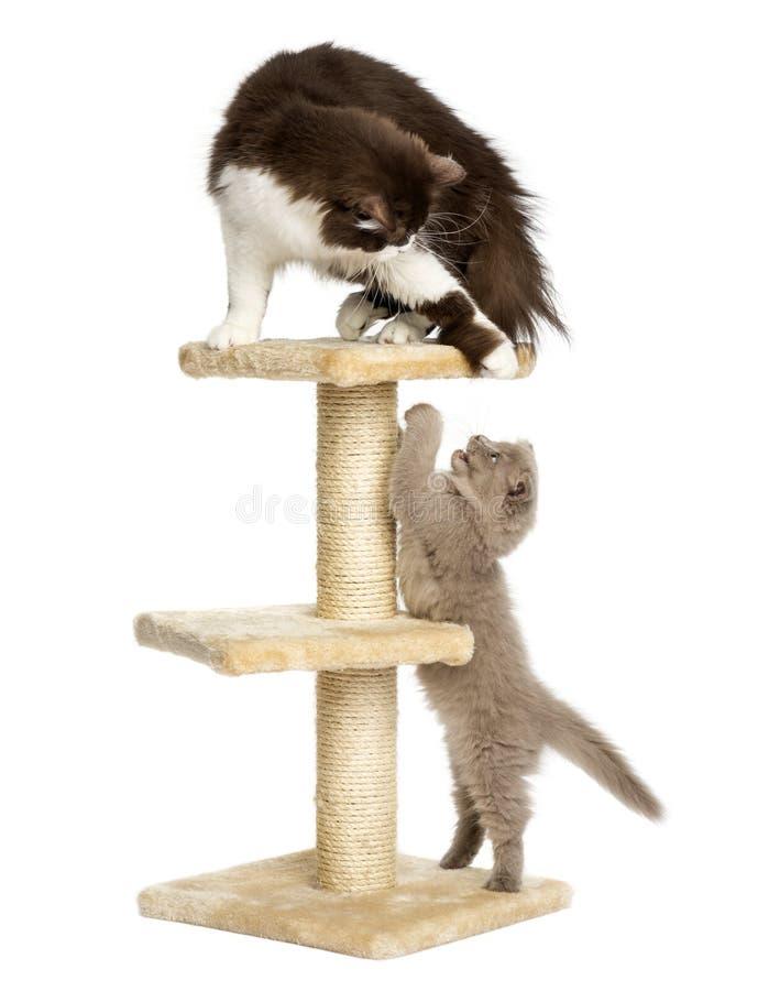 Katten die op een geïsoleerde kattenboom spelen, royalty-vrije stock afbeeldingen