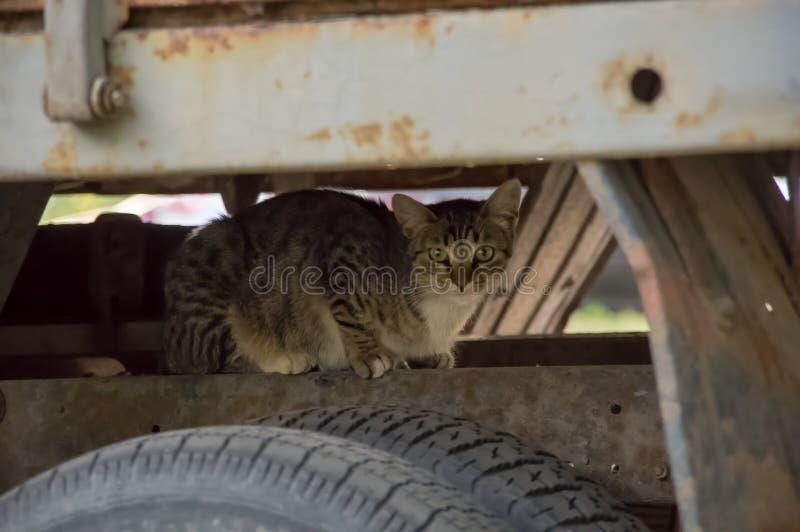 Katten dolde under huven av bilen royaltyfri bild