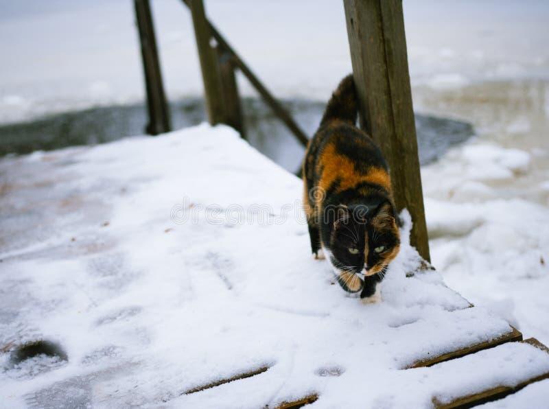 Katten går i förkylningen i vinter arkivfoto