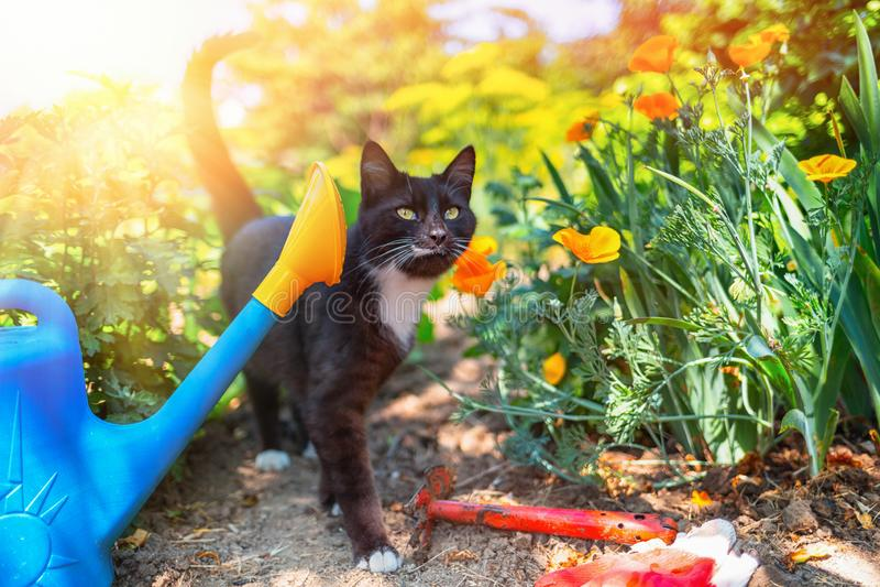 Katten g?r i tr?dg?rden Bredvid katten är bevattna kan, en hacka och handskar Begreppet av hemmet som arbeta i trädgården och arb arkivfoto