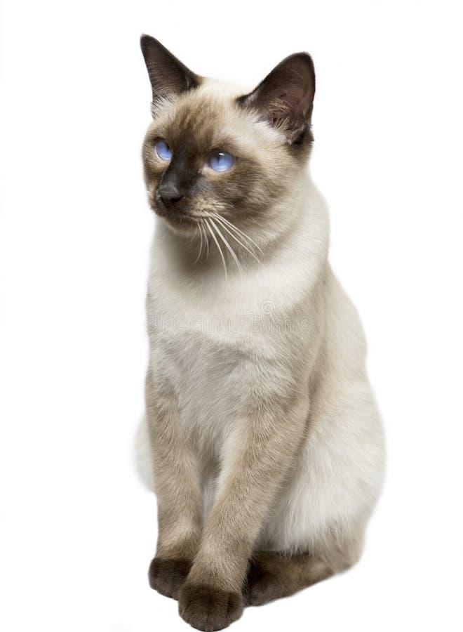 Katten gladde haired Mekong tailless bobtail, royalty-vrije stock foto's