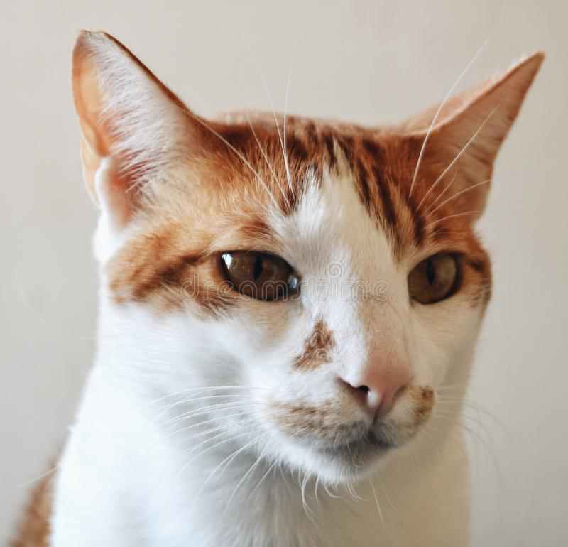 Katten I bet lite ilsket arkivfoton