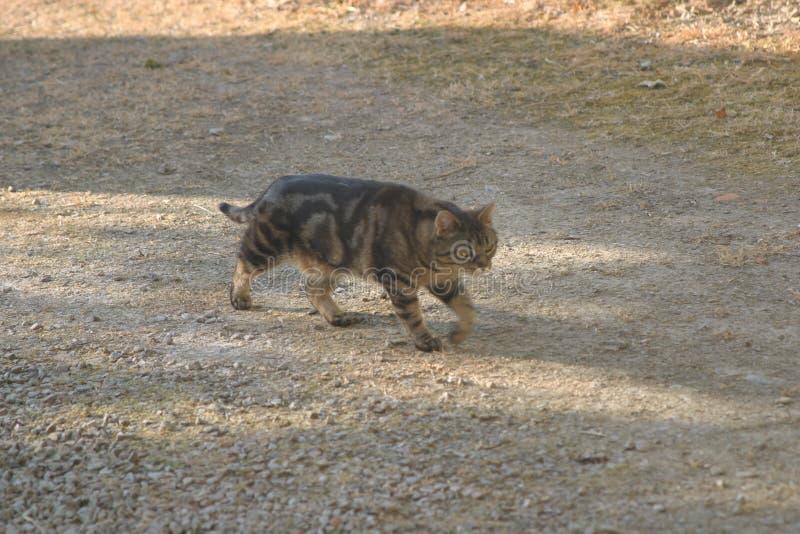 Katten i däcket som stirrar och, går arkivfoton