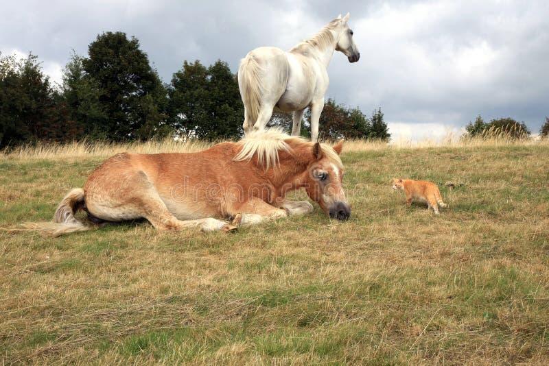 Katten kryper upp till hästar royaltyfri bild