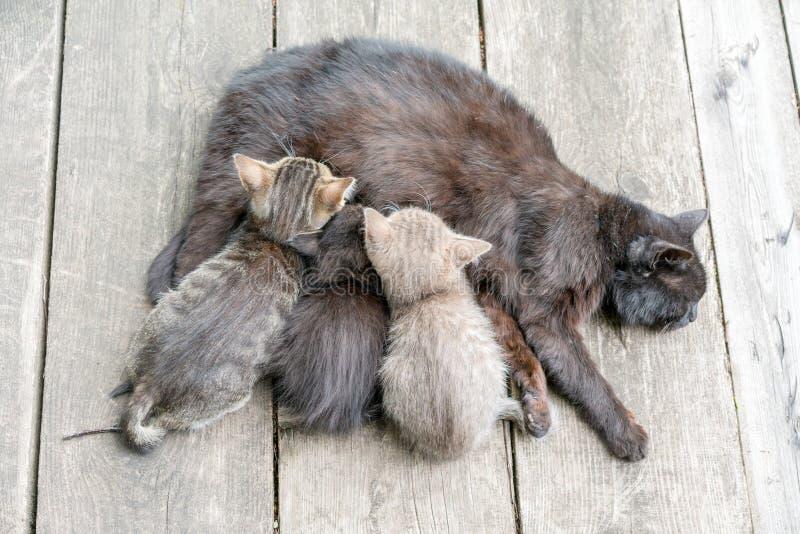 Katten matar hennes mjölkar på unga kattungar Katt som v?rdar upp hennes lilla kattungar, slut arkivfoto