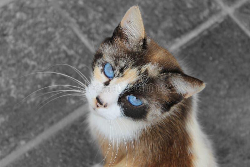Katten med blått synar fotografering för bildbyråer