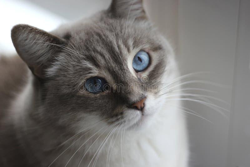 Katten med blått synar royaltyfria bilder