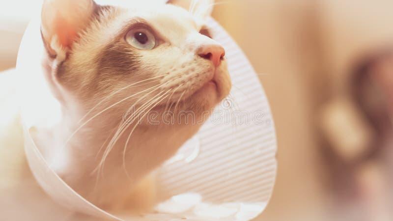 Katten med kragen, katt efter kirurgi, smärtar i katter, smärtsamma husdjur, Anti--Bi för krage för genomskinlig återställning fö royaltyfri fotografi