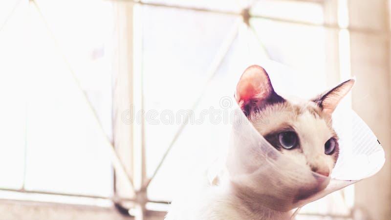 Katten med kragen, katt efter kirurgi, sm?rtar i katter, sm?rtsamma husdjur, Anti--Bi f?r krage f?r genomskinlig ?terst?llning f? arkivbilder