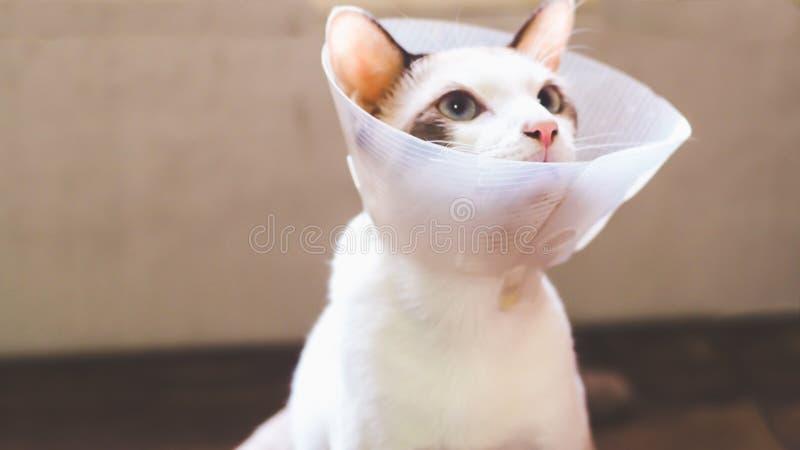 Katten med kragen, katt efter kirurgi, sm?rtar i katter, sm?rtsamma husdjur, Anti--Bi f?r krage f?r genomskinlig ?terst?llning f? fotografering för bildbyråer