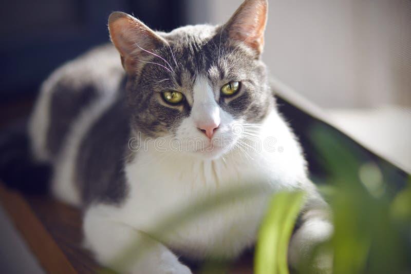 Katten med uttrycksfulla ljusa ögon ligger på fönsterbrädan royaltyfri fotografi