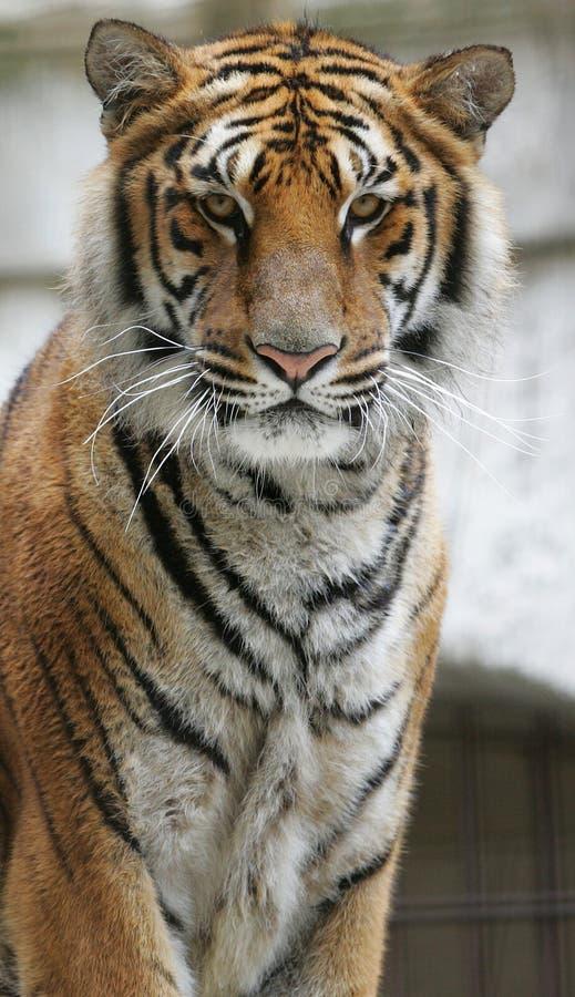 Katten minns mig tigern för den fortBayard TV-program arkivfoton