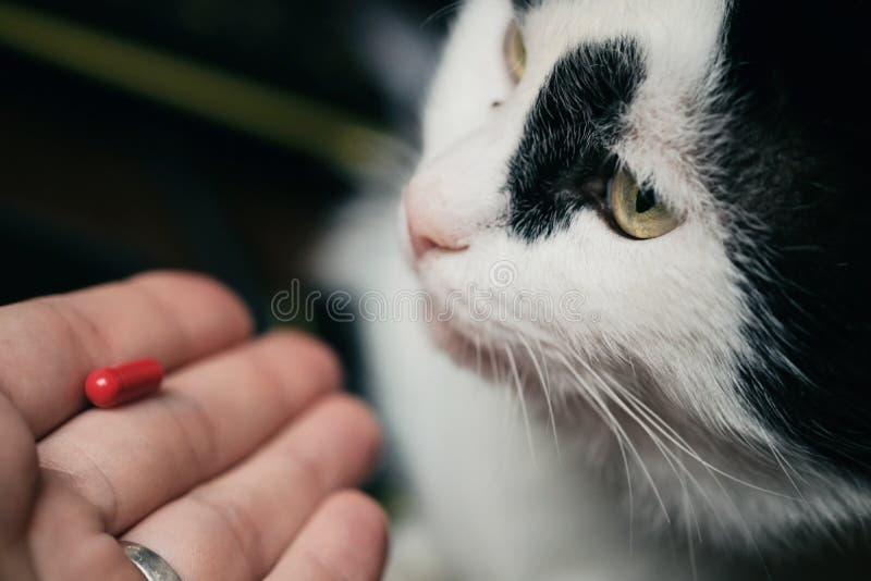 Katten mottar en dos av medicin från veterinären Den rödhåriga gulliga klyftiga katten behandlas med piller efter royaltyfria foton