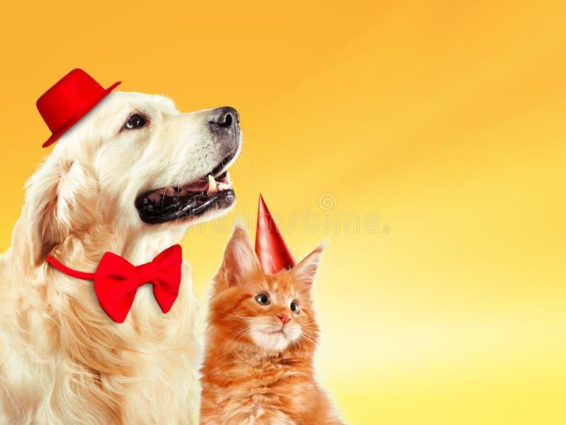 Katten och hunden samman med hattar för födelsedagpartiet, den maine tvättbjörnkattungen, golden retriever ser rätt Gul bakgrund royaltyfri fotografi