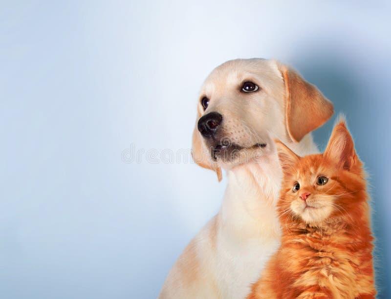 Katten och hunden tillsammans, den maine tvättbjörnkattungen, golden retriever ser vänstersida royaltyfri bild