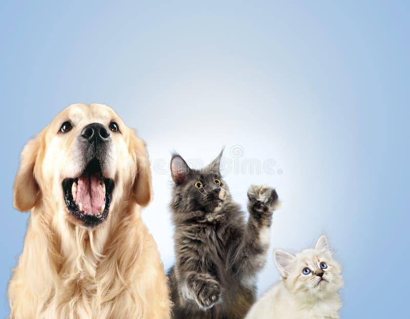 Katten och hunden tillsammans, nevamaskeradkattungen, golden retriever ser rätt royaltyfri bild