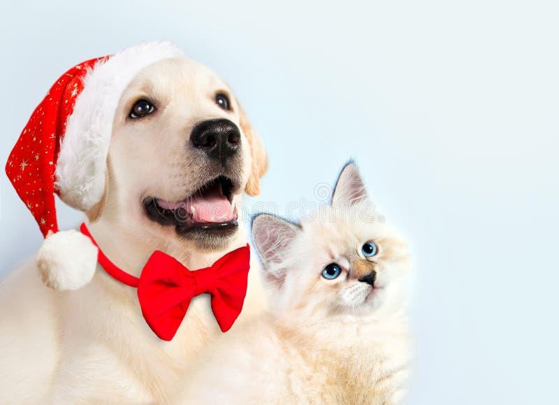 Katten och hunden tillsammans, nevamaskeradkattungen, golden retriever ser rätt Valp med den julhatten och pilbågen nytt år för m royaltyfri foto