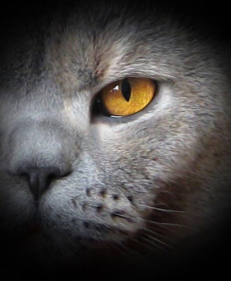 katten premises den säkra shorthairbevakningwatchen arkivbild