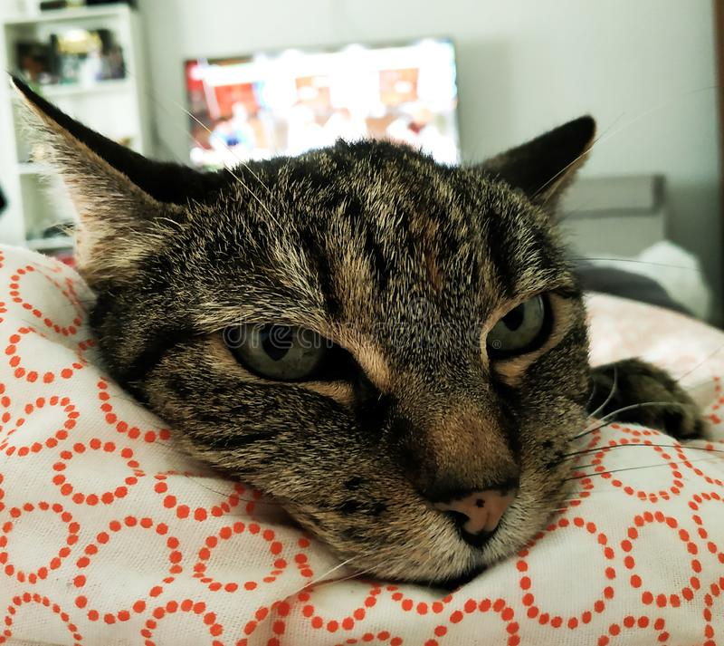 Katten ?r avslappnande arkivfoto