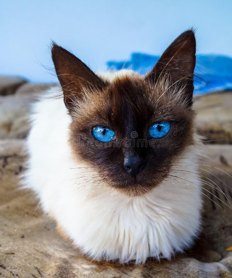 Katten siamese dier royalty-vrije stock foto