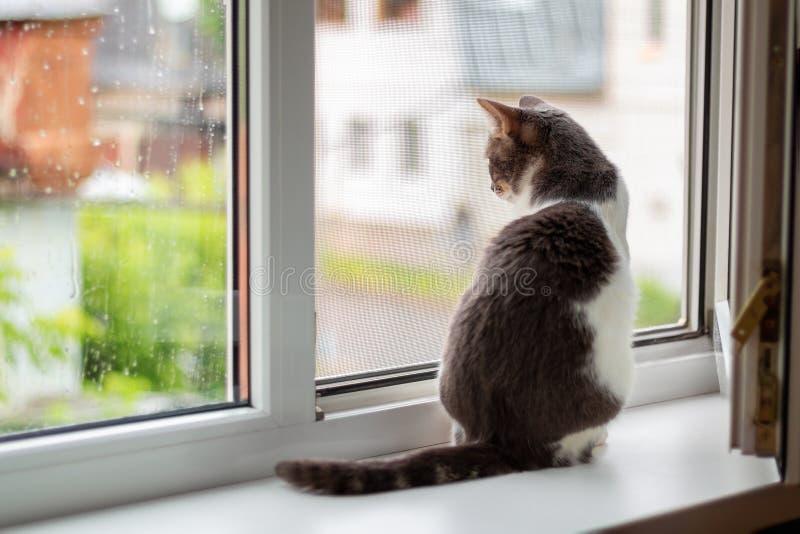 Katten sitter på fönsterbrädan nära ett öppet fönster, som går för regn fotografering för bildbyråer
