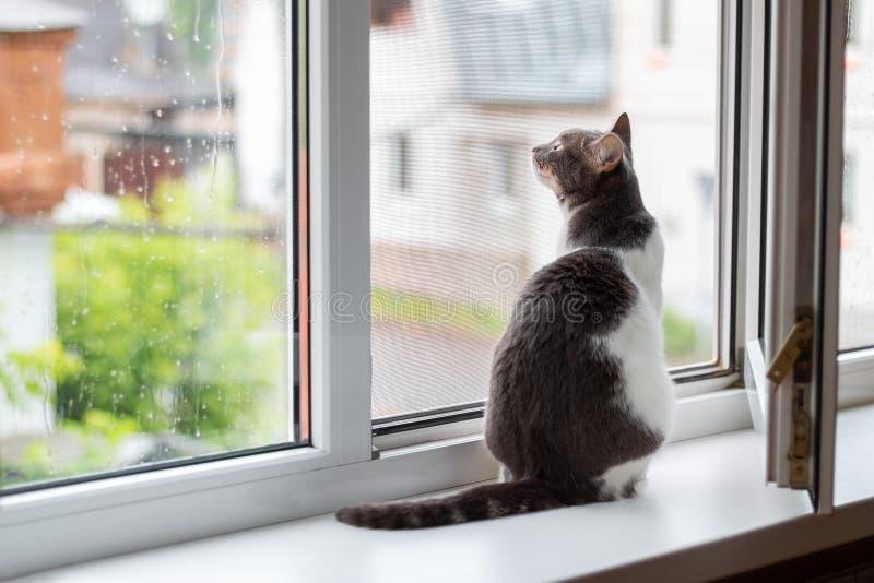 Katten sitter på fönsterbrädan nära ett öppet fönster, som går för regn arkivbild