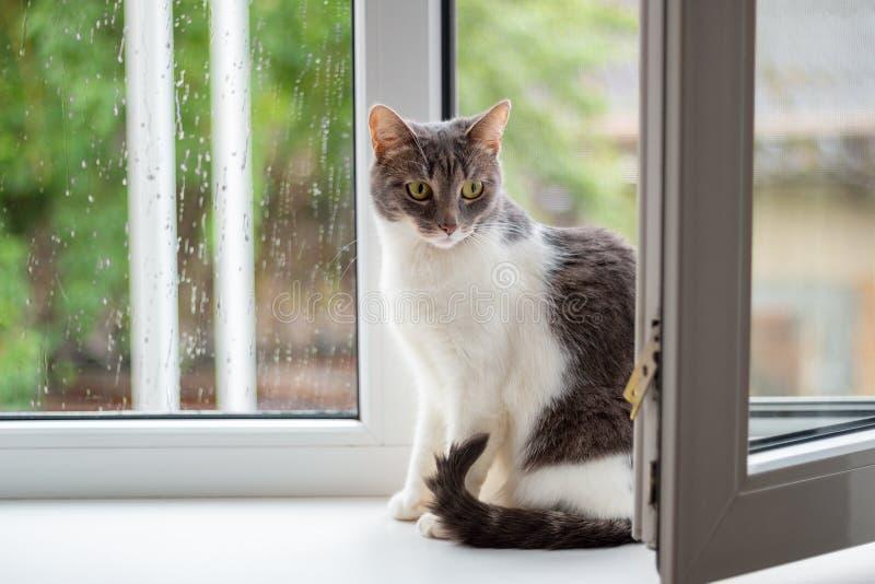Katten sitter p? f?nsterbr?dan n?ra ett ?ppet f?nster, som g?r f?r regn arkivfoton