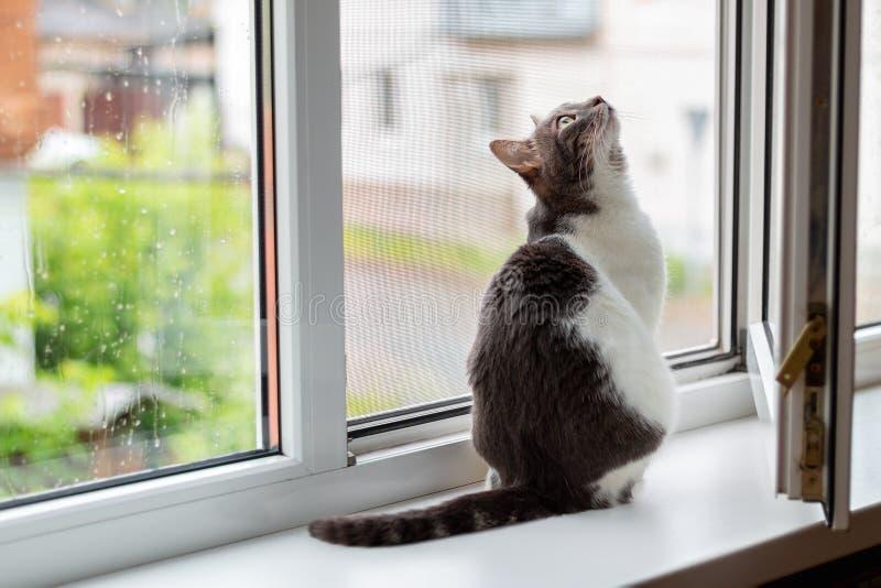 Katten sitter p? f?nsterbr?dan n?ra ett ?ppet f?nster, som g?r f?r regn royaltyfri bild