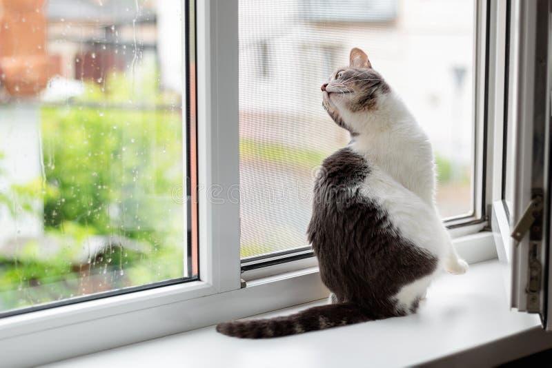 Katten sitter p? f?nsterbr?dan n?ra ett ?ppet f?nster, som g?r f?r regn fotografering för bildbyråer