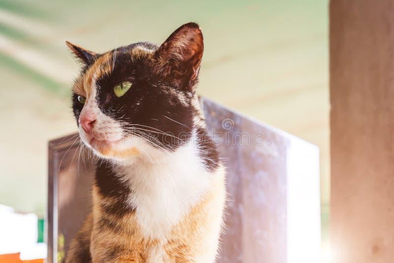 Katten sitter Stående av den grönögda katten Pottkatt under solljus arkivbilder