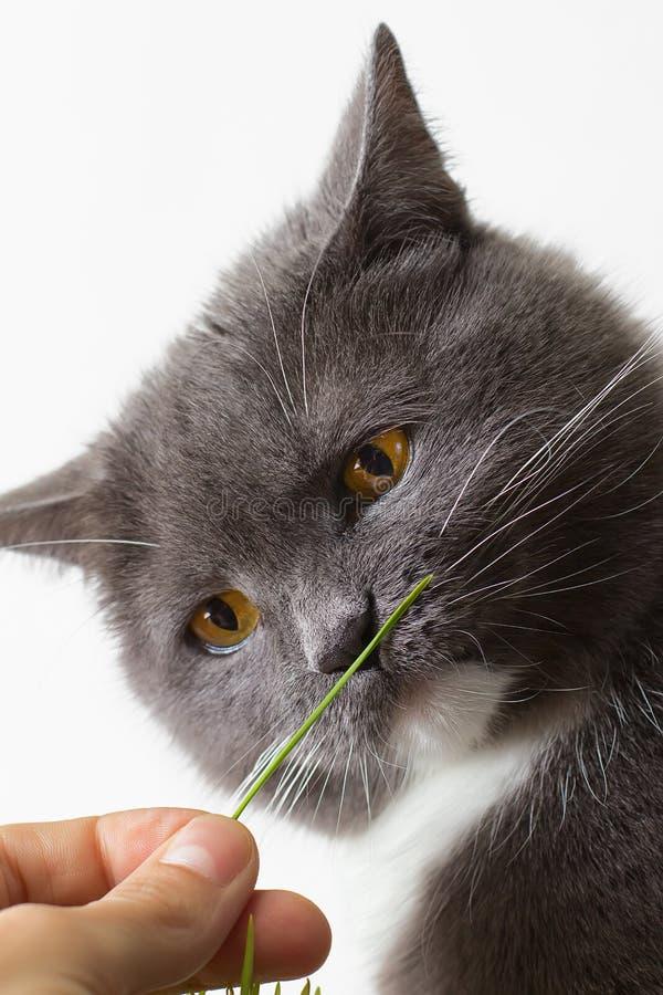 Katten sniffar den gröna grodden royaltyfri foto