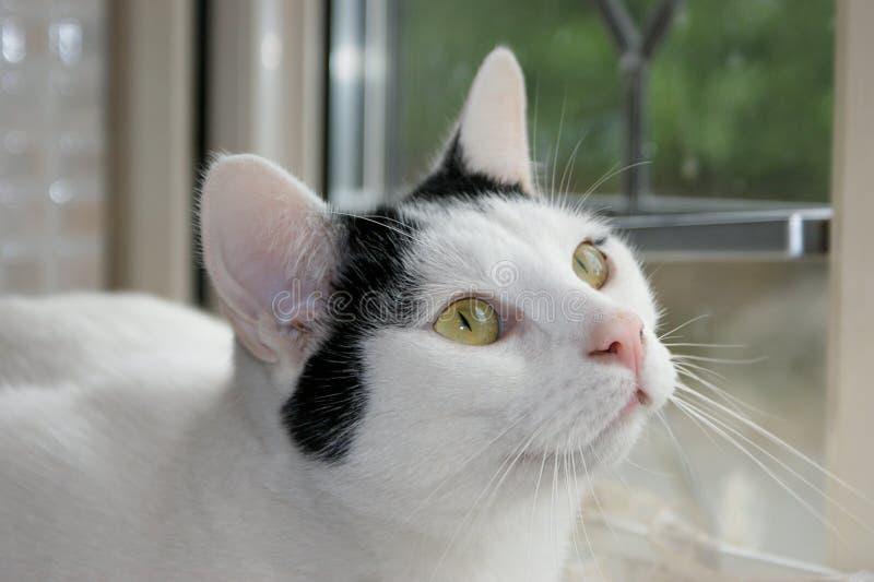 Katten som stirrar in i ägare` s, synar arkivbilder