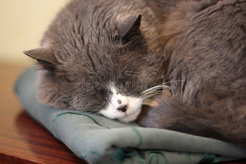 Katten sover Närbild royaltyfri fotografi