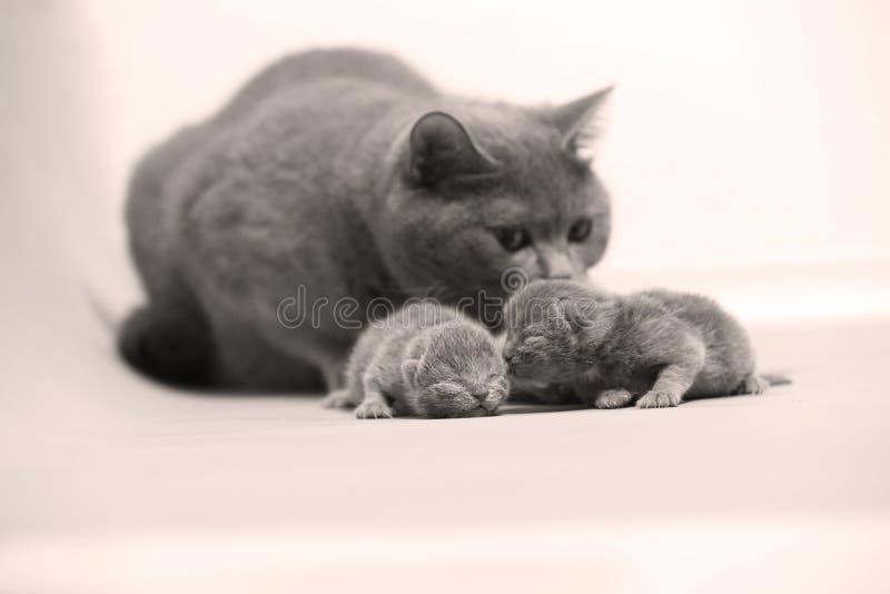 Katten tar omsorg av hennes nya borns, den första dagen av liv royaltyfri bild