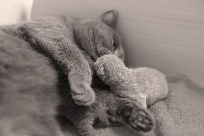 Katten tar omsorg av hennes nya borns, den första dagen av liv royaltyfri foto