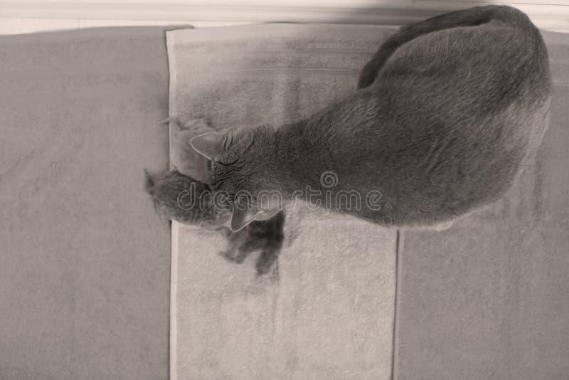 Katten tar omsorg av hennes nya borns, den första dagen av liv royaltyfria foton
