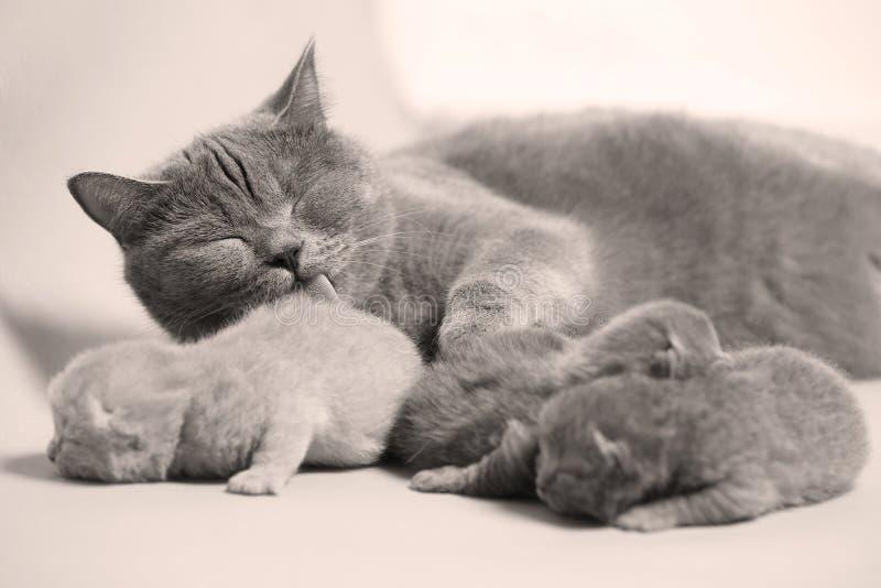 Katten tar omsorg av kattungar arkivfoton