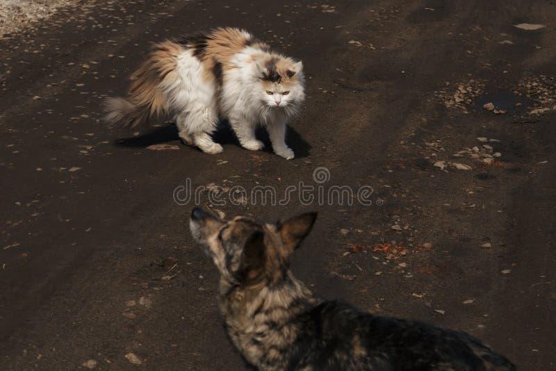 Katten väser gör bar huggtänder som försvarar sig från hunden Begrepp av agression och hostilitet mellan katter och hundkapplöpni arkivfoto