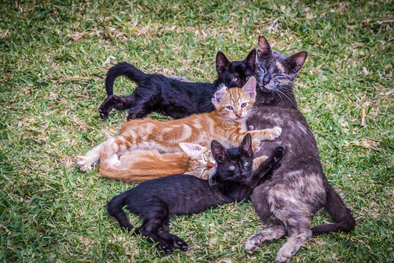 Kattenfamilie die op het gazon liggen stock foto