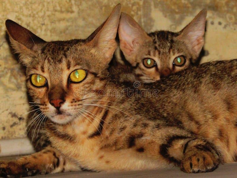Kattenfotografie royalty-vrije stock afbeelding