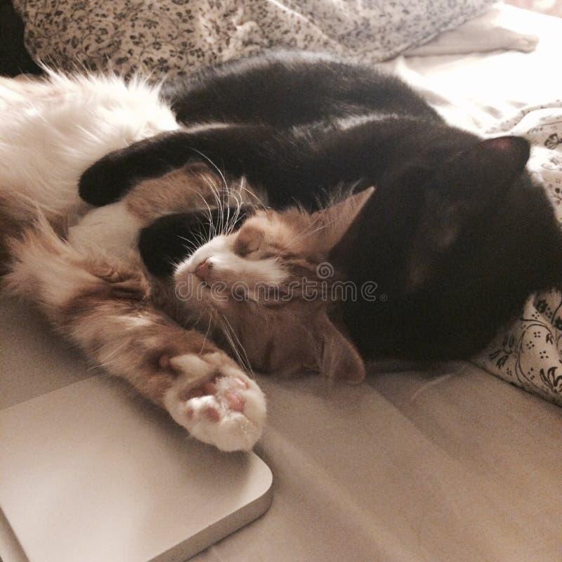 Kattenliefde royalty-vrije stock foto's