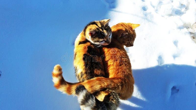 Kattenliefde stock fotografie