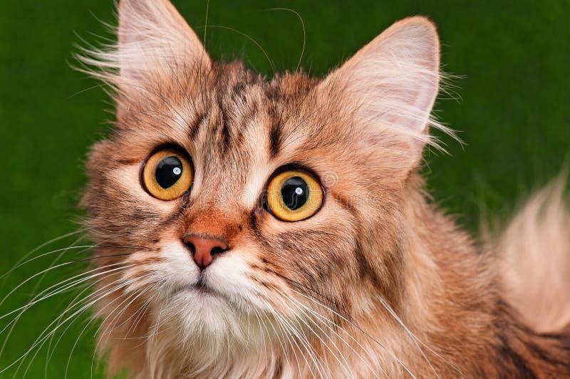 Kattenportret royalty-vrije stock afbeeldingen