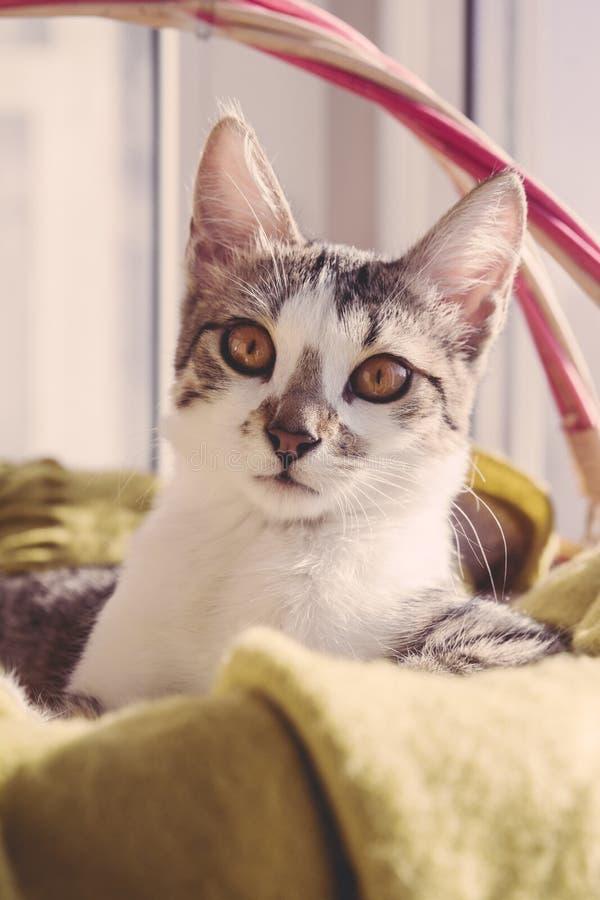 Kattenportret in een europeean wit gezicht van mand bruin ogen stock afbeelding